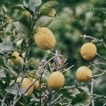 owoce cytryny rozną na krzaku w Cinque Terre