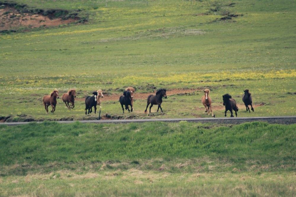 galopujące konie na islandii