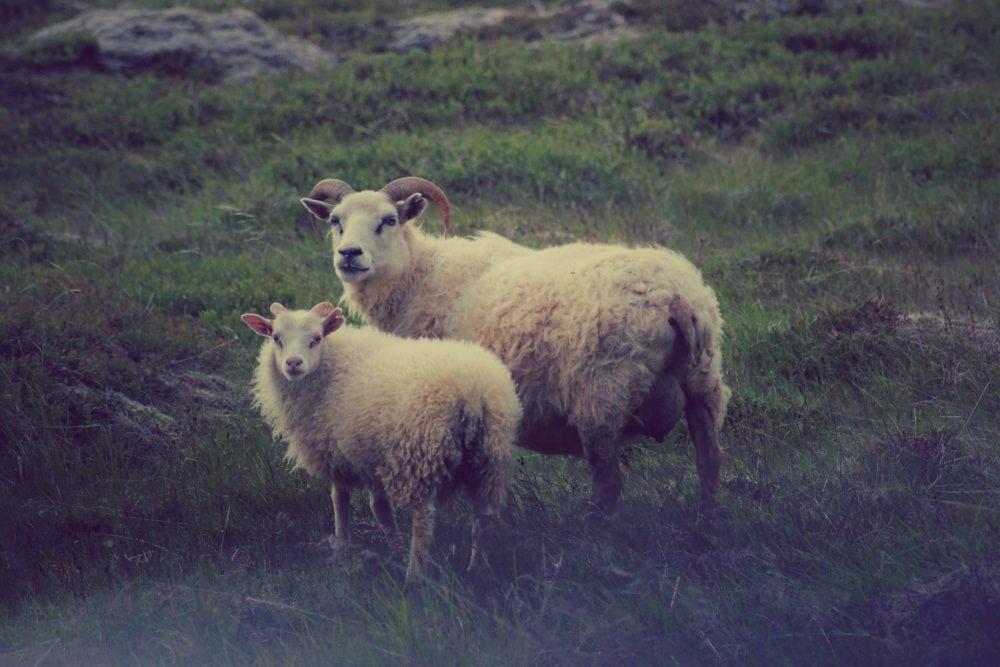 owce na islandii