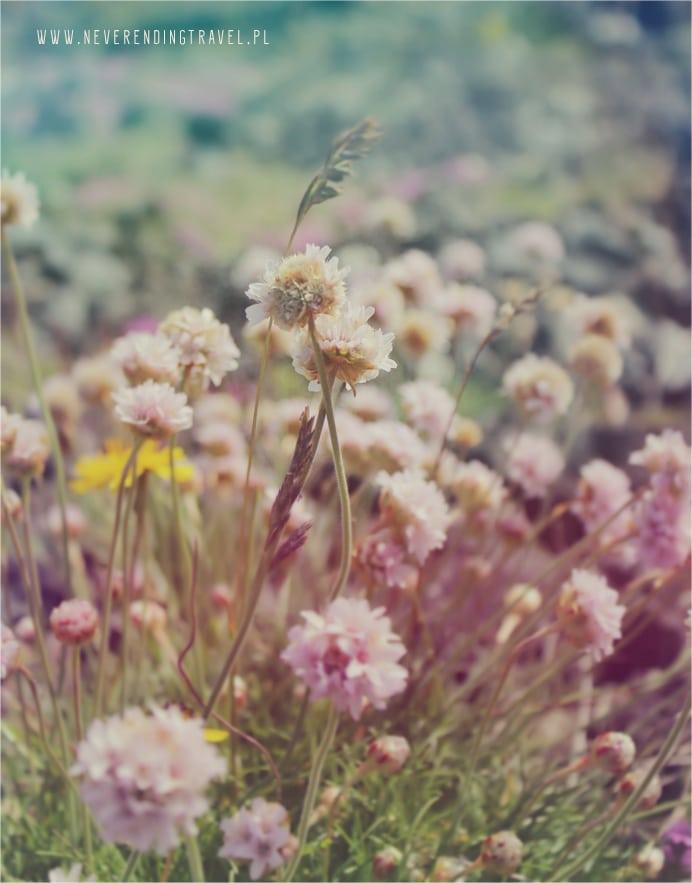islandzkie kwiaty, koniczyna