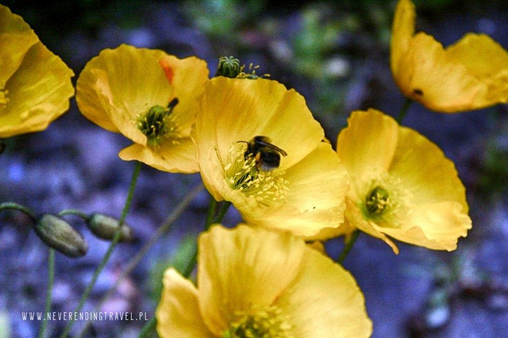 żółte maki, kwiaty