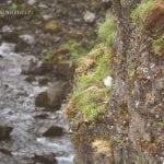 mewa na islandii