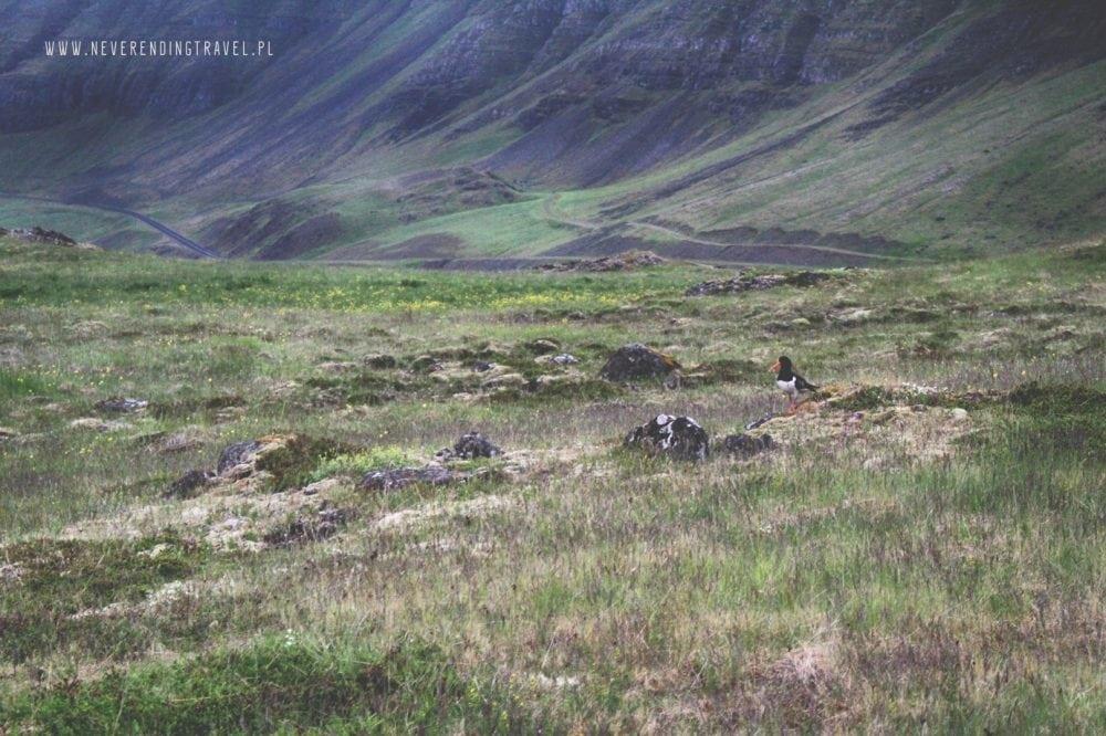 islandzki ptak, islandzka przyroda