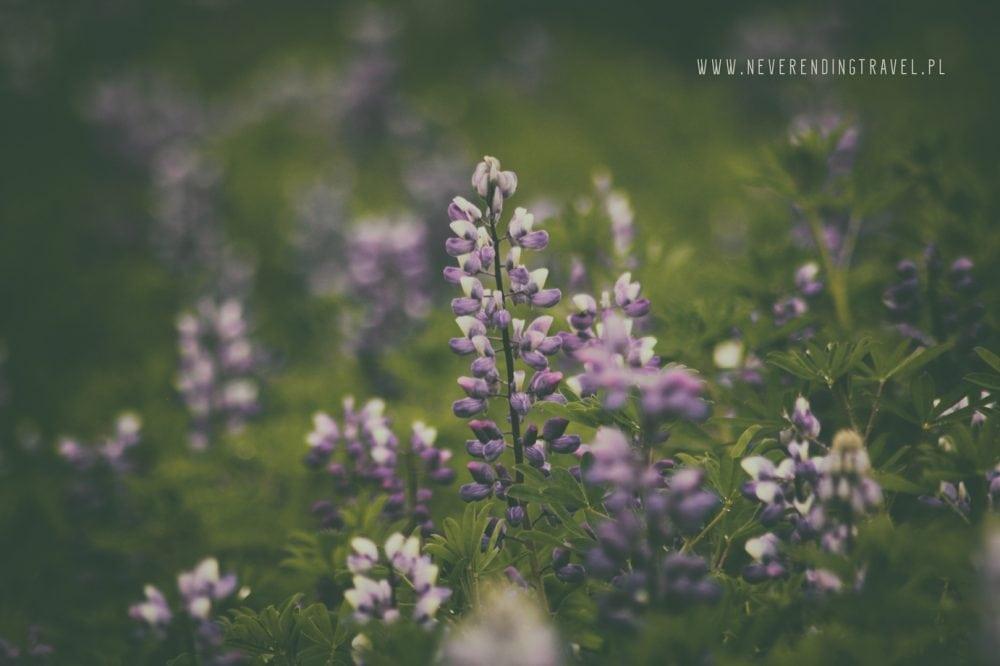islandzki łubin, kwiaty fioletowe