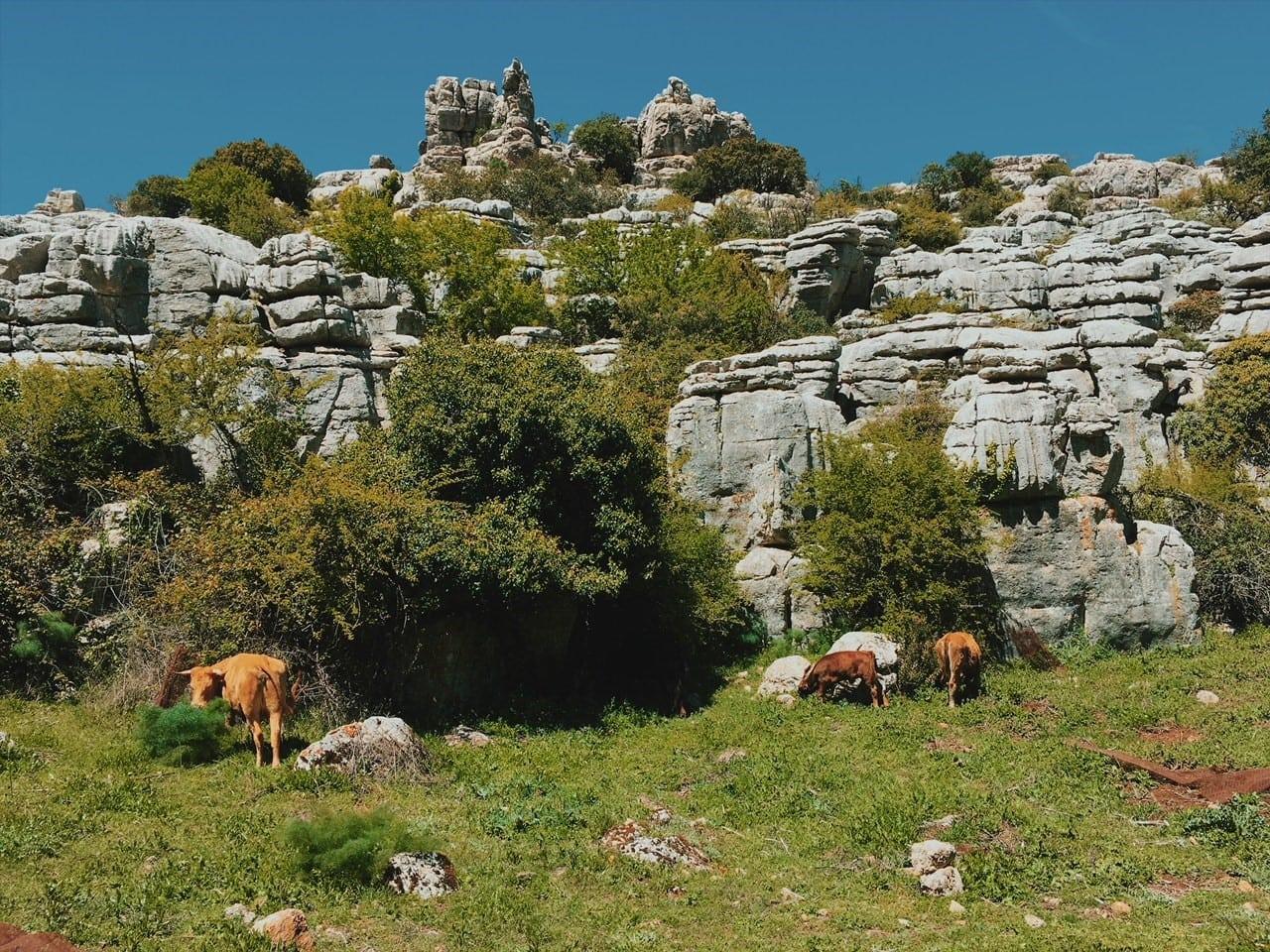El Torcal de Antequera majówka andaluzja neverendingtravel.pl trekking, skały, górski spacer, trasa, szlak w górach, ścieżka, rezerwat, park narodowy, krowy