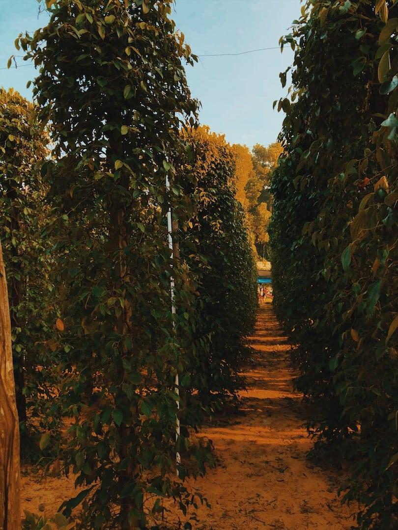 farma pieprzu, liście rośliny owoce wyspa phu quoc wietnam neverendingtravel.pl