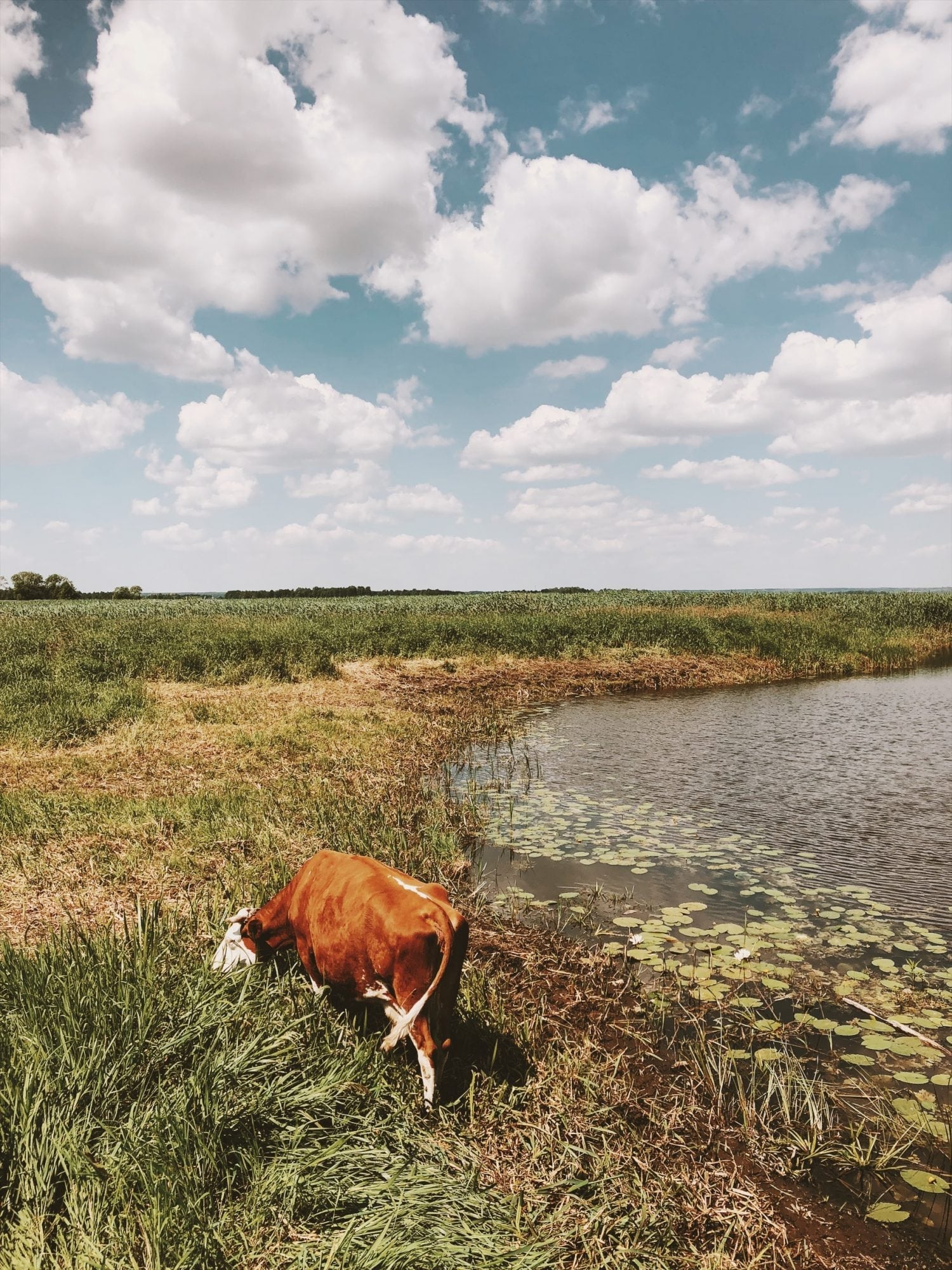 rozlewisko narwi krowa, lilie, chmury, rzeka, podlaskie neverendingtravel.pl